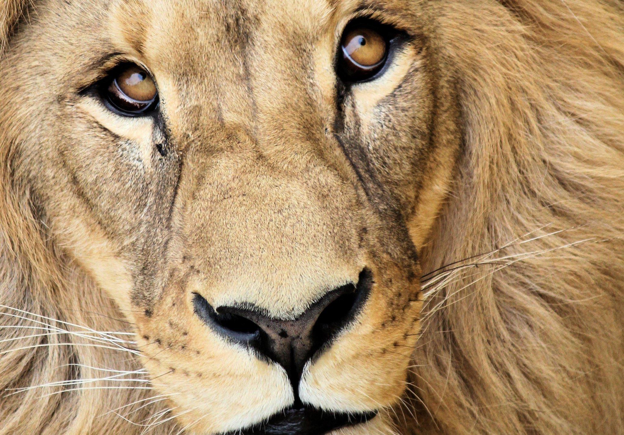leijonien opit tiimityöhön