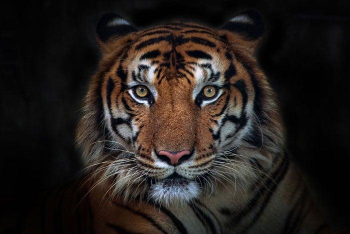 Tiger Balsam